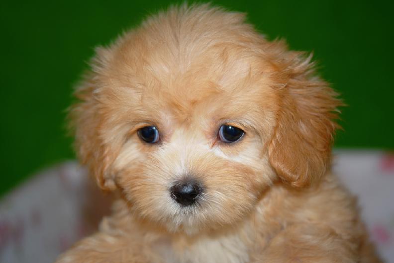 Cavachon Puppies  Home  Facebook